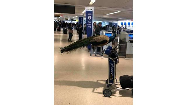 Woman not allowed to bring emotional support peacock on plane