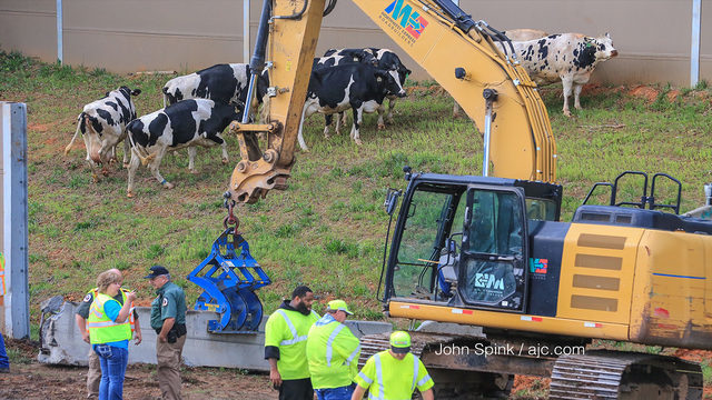 7 cows die after early morning crash on I-75