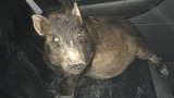 Ohio man calls police after pig won't stop following him