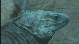 Wild Encounters: Grand Cayman Blue Iguana