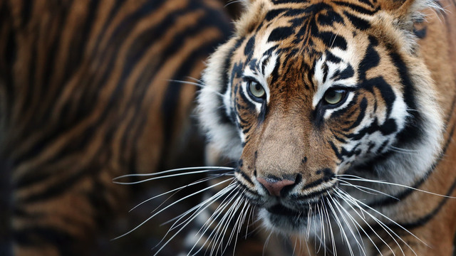 Pot smokers find caged tiger in abandoned house, Houston police say