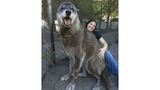 Giant wolf 'Yuki' dropped off at kill shelter rescued by Florida sanctuary